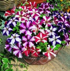 Petunia compacta nana Stars Mix - 1g - Bulk Discounts Available